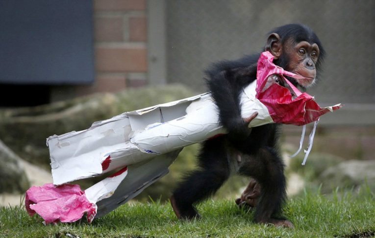 Chimpanzee with freebie pressie