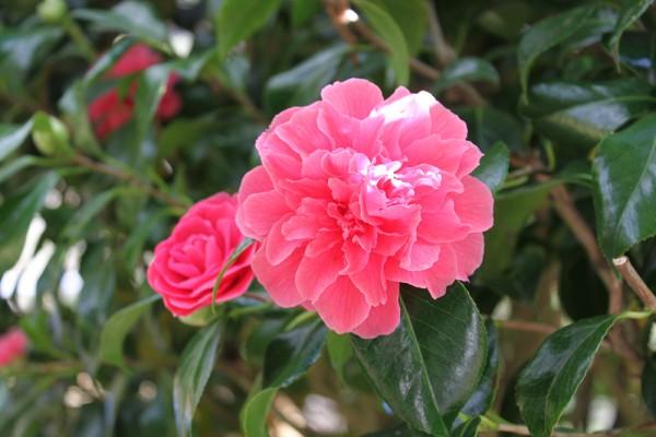 Cameillia Flower