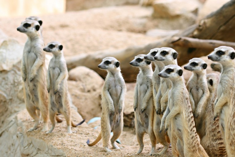 Meerkats riveted to something, hopefully my blog