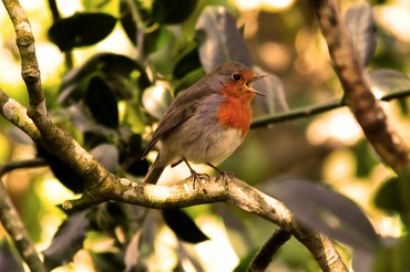 Robin singing in a tree