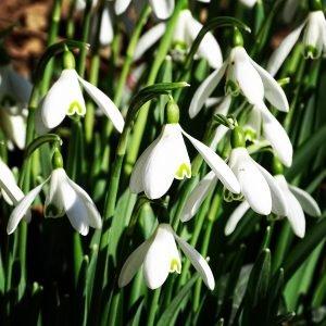 Spring Snowdrops