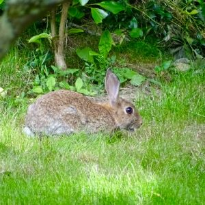 Wild rabbit in our garden
