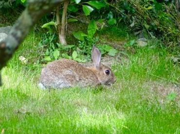 Wild rabbit in our garden