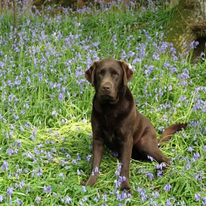 Lab in the Bluebells